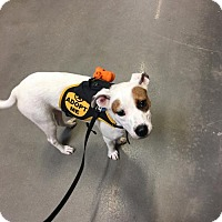 Adopt A Pet :: Amber - KANNAPOLIS, NC