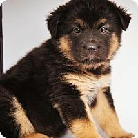 Adopt A Pet :: Sloan *Puppy* Denali Litter - Gretna, NE