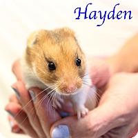 Adopt A Pet :: Hayden - Bradenton, FL