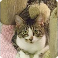 Domestic Shorthair Kitten for adoption in Fort Lauderdale, Florida - AC