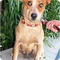 Adopt A Pet :: Brandi - Phoenix, AZ