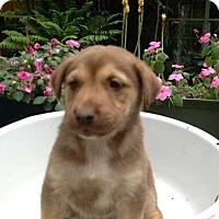 Adopt A Pet :: Gibbs - Morgantown, WV
