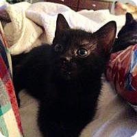 Adopt A Pet :: Noodles - Reston, VA