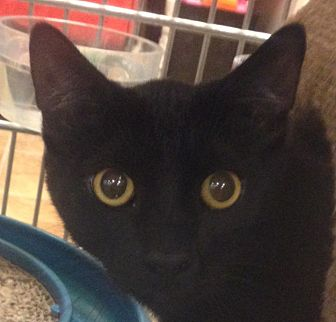 Domestic Shorthair Cat for adoption in Winchester, California - Shadow