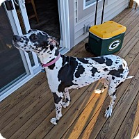 Great Dane Dog for adoption in Minneapolis, Minnesota - Michonne