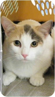 Domestic Shorthair Cat for adoption in Modesto, California - Tawny