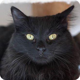 Domestic Longhair Cat for adoption in Denver, Colorado - Tanisha