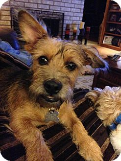 Schnauzer (Miniature)/Terrier (Unknown Type, Small) Mix Dog for adoption in Norwalk, Connecticut - CJ - cats are ok!