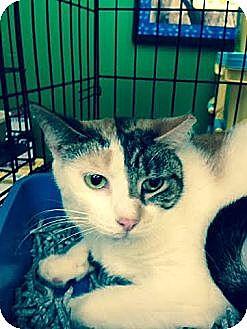 Calico Cat for adoption in Ortonville, Michigan - Callie