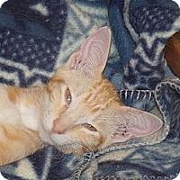 Adopt A Pet :: Beverly's Kittens - Scottsdale, AZ