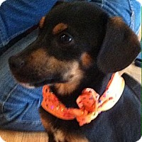 Adopt A Pet :: 3 Doxy mix pups - Somers, CT