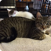 Domestic Shorthair Cat for adoption in Alamo, California - Tootsie
