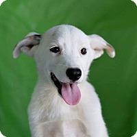 Adopt A Pet :: Cinch - Bedminster, NJ