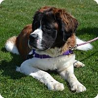 St. Bernard Mix Dog for adoption in East Smithfield, Pennsylvania - Bennie