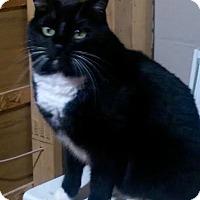 Domestic Mediumhair Kitten for adoption in Edina, Minnesota - Samson C130119 (and Tony C130148)