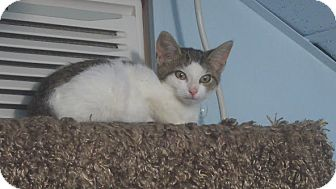 Domestic Shorthair Kitten for adoption in Haddon Twp., New Jersey - Honey