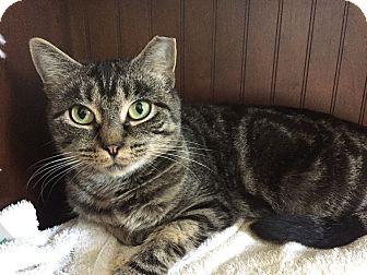 Domestic Shorthair Cat for adoption in Worcester, Massachusetts - Sheba
