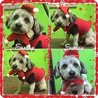 Adopt A Pet :: Shaggy - South Gate, CA