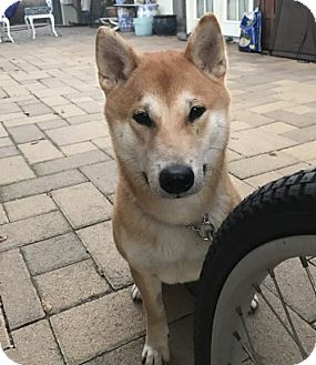 Shiba Inu Dog for adoption in Los Alamitos, California - Boomer (please read description for details)