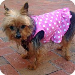 Yorkie, Yorkshire Terrier Dog for adoption in West Palm Beach, Florida - Elsie