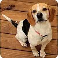 Adopt A Pet :: Betti Beagle - Staunton, VA