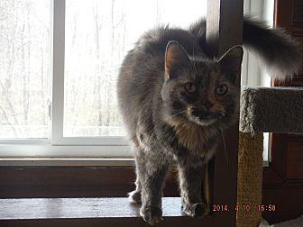 Domestic Mediumhair Cat for adoption in Saint Albans, West Virginia - Reese