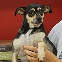 Chihuahua Mix Dog for adoption in Evans, Georgia - Bonnie