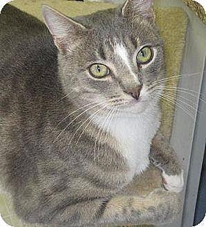 Domestic Shorthair Cat for adoption in New Bern, North Carolina - AJ