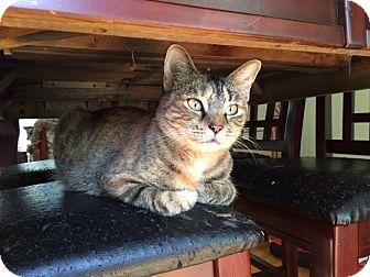 Domestic Shorthair Cat for adoption in Bentonville, Arkansas - Whisper