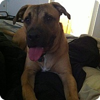 German Shepherd Dog/American Pit Bull Terrier Mix Dog for adoption in Goodyear, Arizona - Ammo