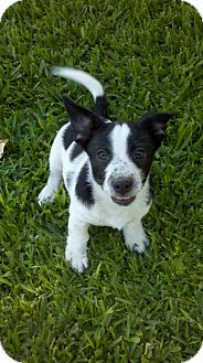 Rat Terrier/Lhasa Apso Mix Puppy for adoption in Bakersfield, California - Spot