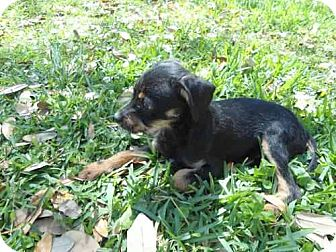 Chihuahua/Wirehaired Fox Terrier Mix Dog for adoption in Houston, Texas - Jerry