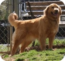 Golden Retriever Mix Dog for adoption in New Canaan, Connecticut - Molly