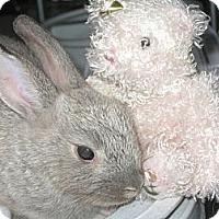 Adopt A Pet :: Sweet Baby - Los Angeles, CA