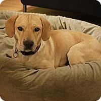 Adopt A Pet :: Acacia - Seattle, WA