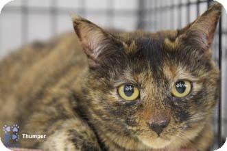 Domestic Shorthair Cat for adoption in Merrifield, Virginia - Thumper