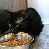 Domestic Shorthair Cat for adoption in Prestonsburg, Kentucky - spade