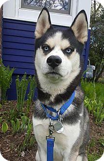 Rhodesian Ridgeback Mix Dog for adoption in Elkhart, Indiana - Lincoln