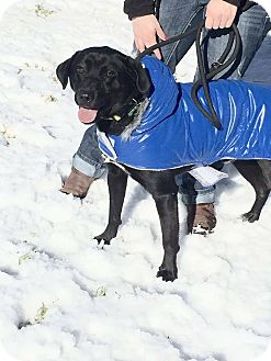 Labrador Retriever/Siberian Husky Mix Dog for adoption in Ann Arbor, Michigan - Michael Angelo