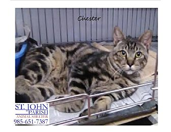 Domestic Shorthair Cat for adoption in Laplace, Louisiana - Chester