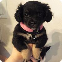 Adopt A Pet :: Papillon Mix Puppies! - Kirkland, WA