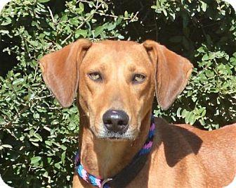 Labrador Retriever/Hound (Unknown Type) Mix Dog for adoption in Mukwonago, Wisconsin - **GINGER** MEET APRIL 29TH!