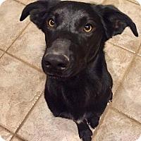 Adopt A Pet :: Sasha Williamspup - Salt Lake City, UT