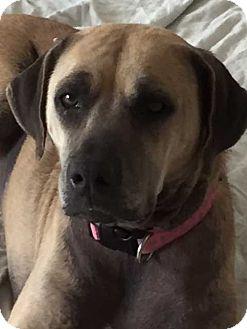 Labrador Retriever Mix Dog for adoption in Tampa, Florida - Abby 2