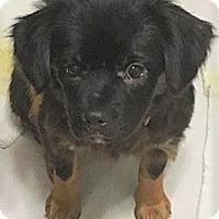 Adopt A Pet :: Dolly~In NY - Brattleboro, VT