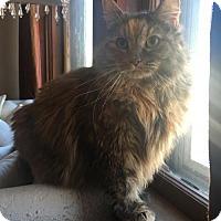 Adopt A Pet :: Suki (Bonded Pair!) - Somerville, MA