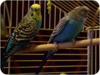 Budgie for adoption in Mantua, Ohio - REX AND RUDY