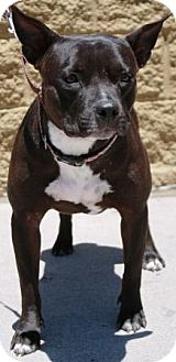 Staffordshire Bull Terrier Mix Dog for adoption in Gilbert, Arizona - Penny Lane