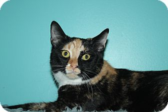 Domestic Shorthair Cat for adoption in North Branford, Connecticut - Alicia