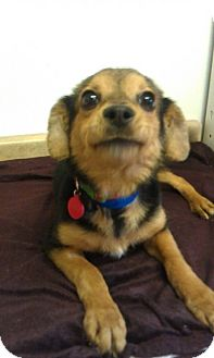 Miniature Pinscher/Beagle Mix Dog for adoption in Waldorf, Maryland - Sonic #373